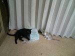 猫 クロ(くろ) ゆり 110910_103240.JPG